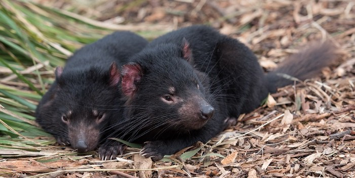 Two Tasmanian devils lying on the ground